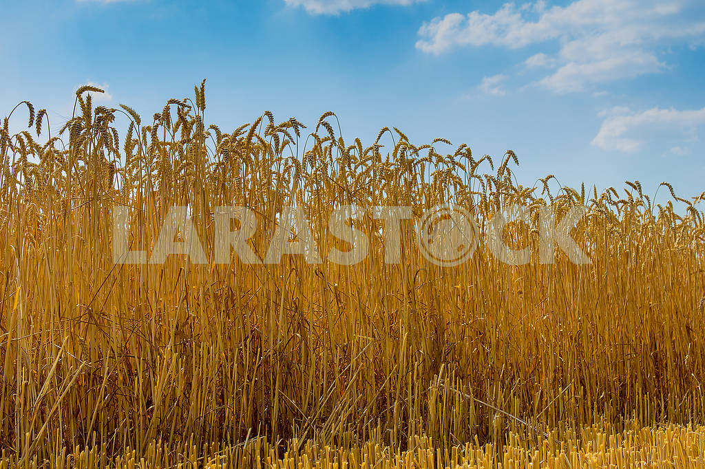 Wheat and sky — Image 64986