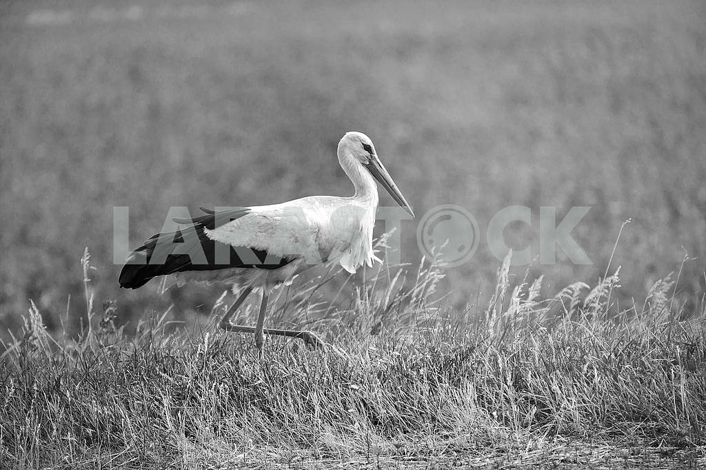Stork on a meadow — Image 65210