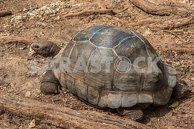 Giant tortoise Aldabra