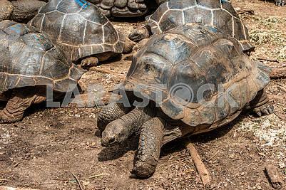 Seychelles Turtle Aldabra
