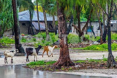 Goats in Zanzibar