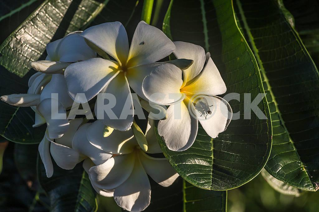 Цветок молокай — Изображение 65865