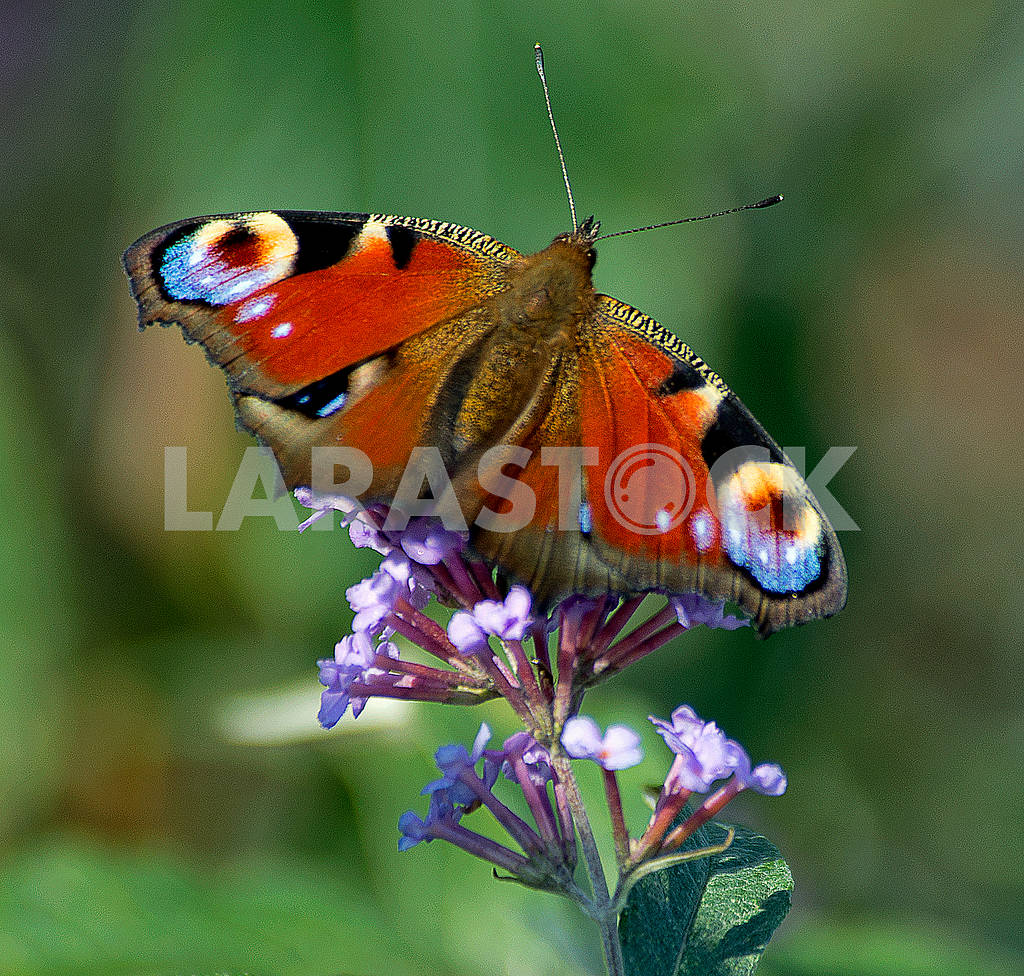Butterfly — Image 65889