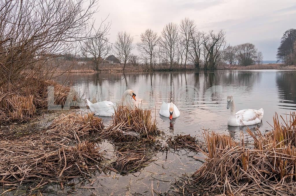 Swans — Image 65934
