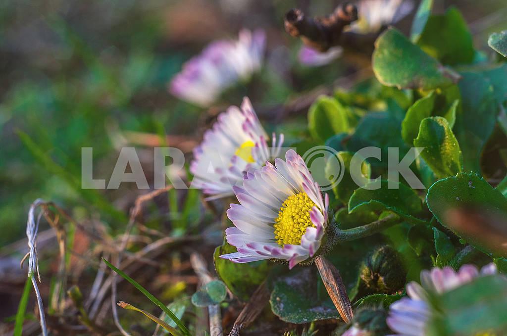 Daisy — Image 65982