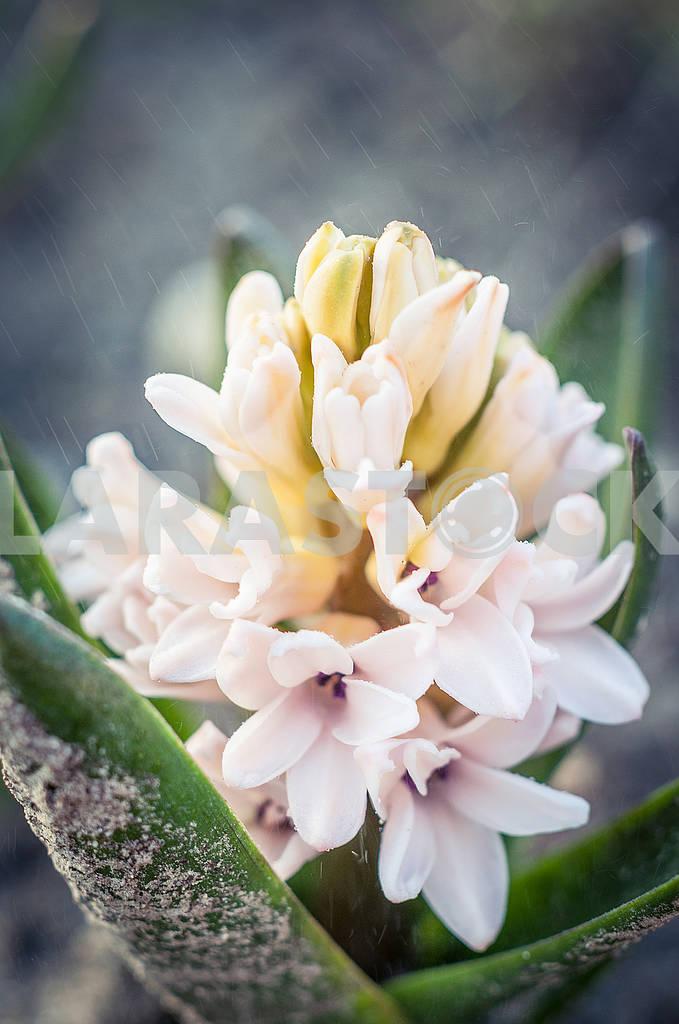 Hyacinth — Image 65983