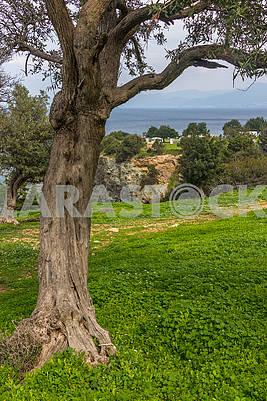 Дерево на полуострове Акамас