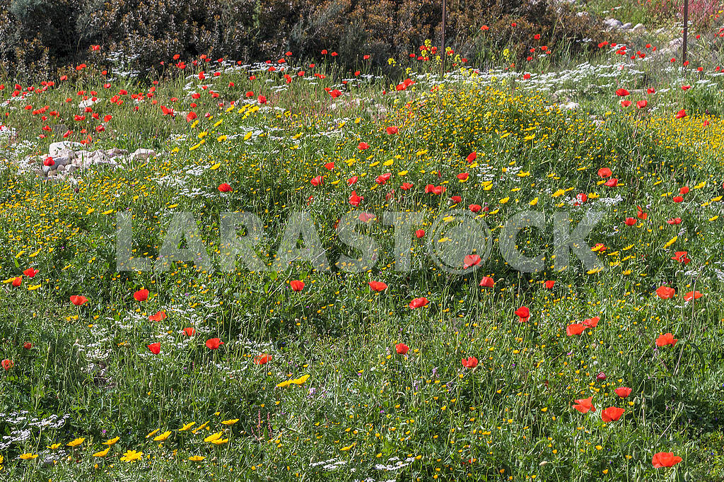 Red poppies and chamomiles — Image 66193