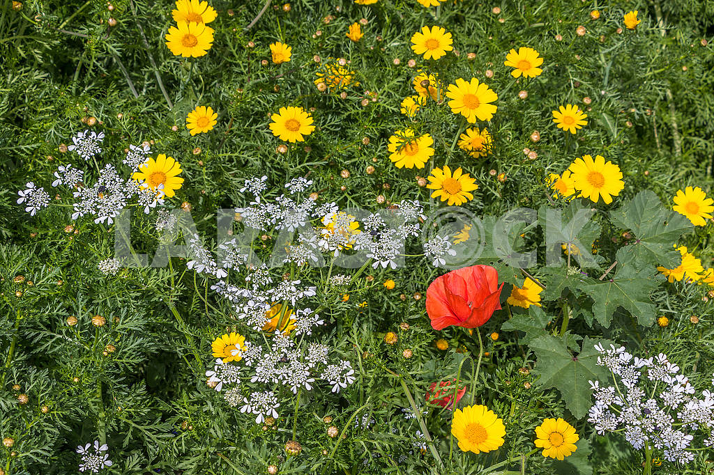 Poppy and camomiles — Image 66195