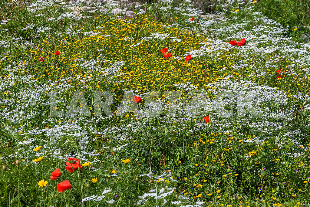 Red poppy and chamomile — Image 66196