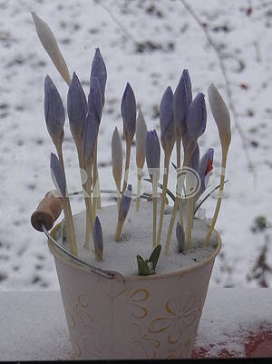 purple crocuses under the first snow