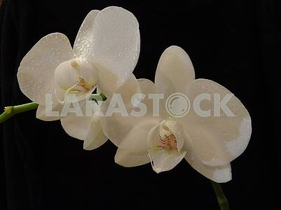 White phalaenopsis orchid with drops of dew
