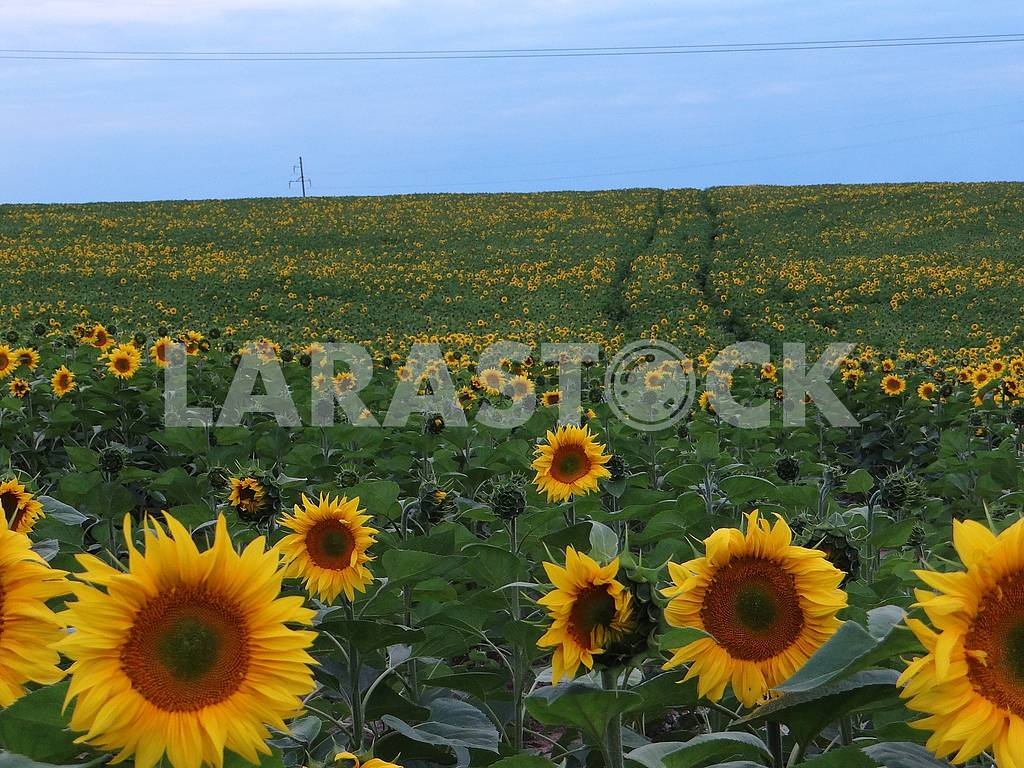 Field with large sunflowers. — Image 66297