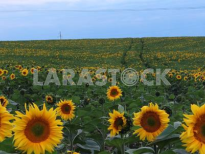 Field with large sunflowers.