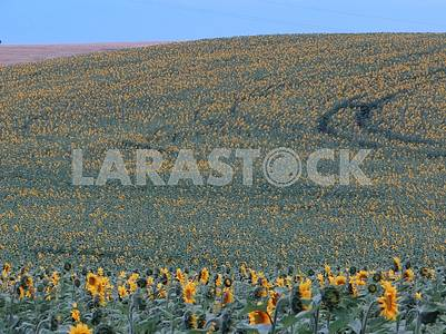 A large field with sunflowers.