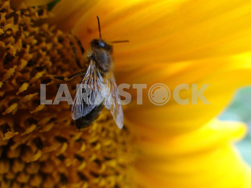 Bloomed sunflower with a fly on the middle. — Image 66299