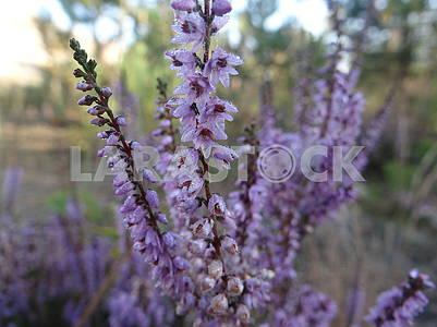 Фиолетовые цветы с каплями росы.