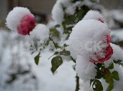 Flower under the snow
