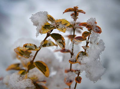 The plant looks from under the snow