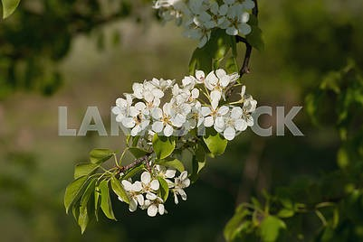 Blooming in May apple tree against a background of green trees