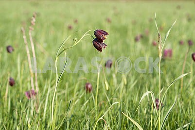 Red flower Fritillaria ruthenica growing in the meadows in May