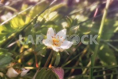 A flower of  wild strawberries under summer sunlight