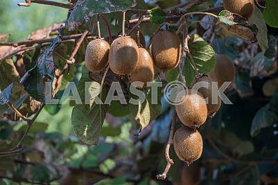 Kiwi fruit on the tree