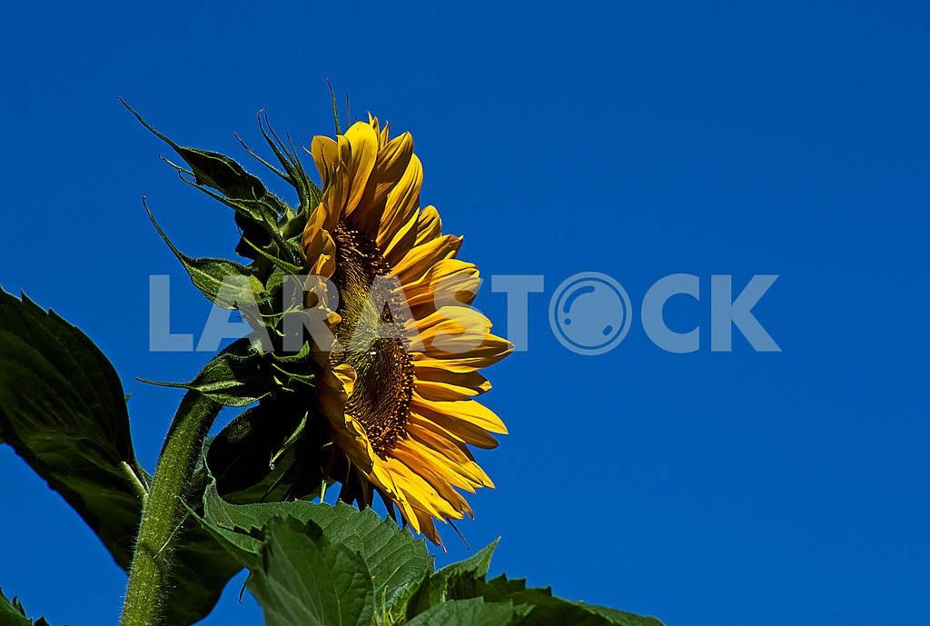 Sunflower — Image 67379