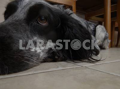 A Russian spaniel dog lies on the floor.