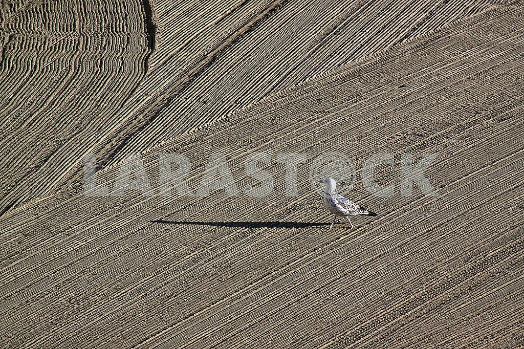Lonely seagull on cleaned by a tractor sand on the Mediterranean — Image 67801