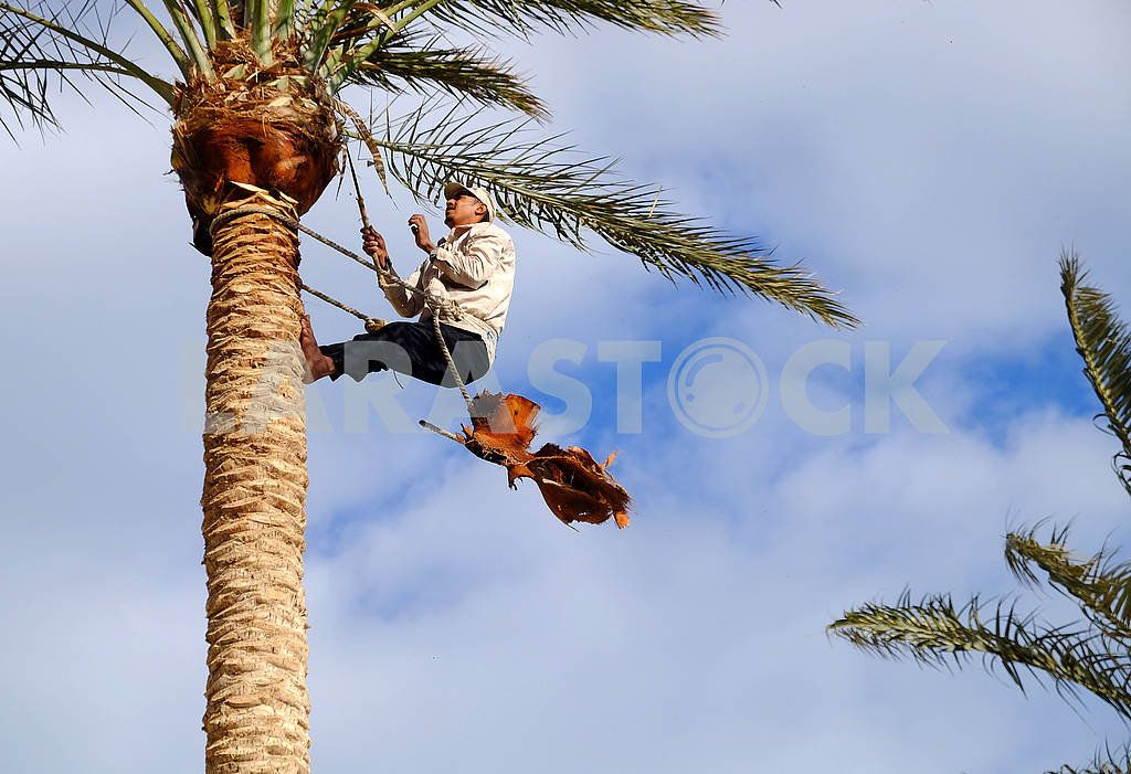 The worker cuts off palm branches — Image 67829