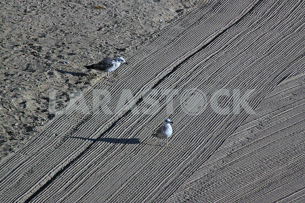 Two lonely seagulls on cleaned by a tractor sand on the Mediterranean Sea — Image 67856
