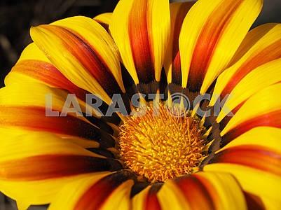 Flower Gazania