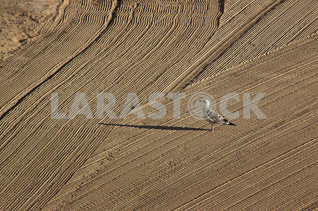 Lonely seagull on cleaned by a tractor sand on the Mediterranean — Image 67987