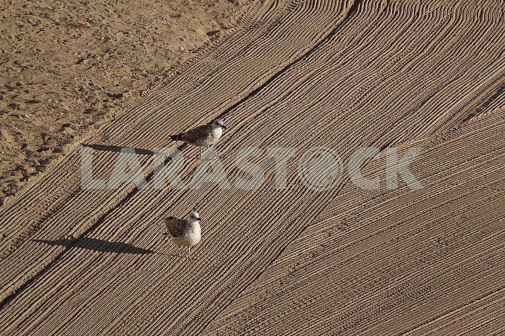 Two lonely seagulls on cleaned by a tractor sand on the Mediterranean Sea — Image 67988