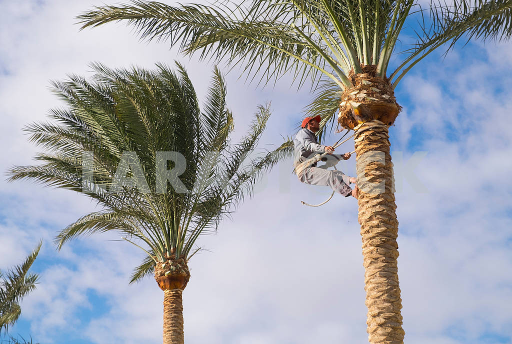 The worker cuts off palm branches — Image 68034