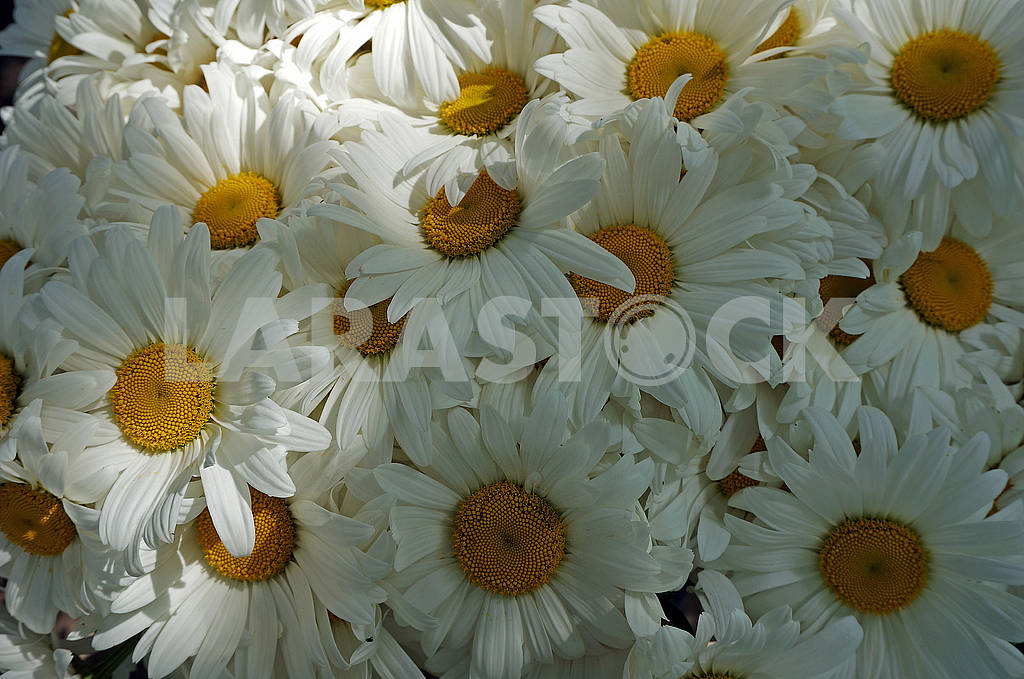 Bouquet of white camomiles — Image 68193