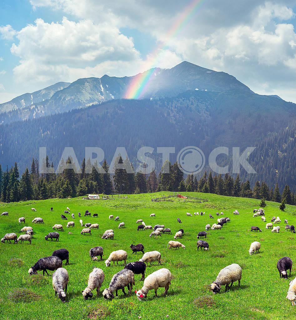 Sheep on the mountain Pip Ivan Marmarosh — Image 68247