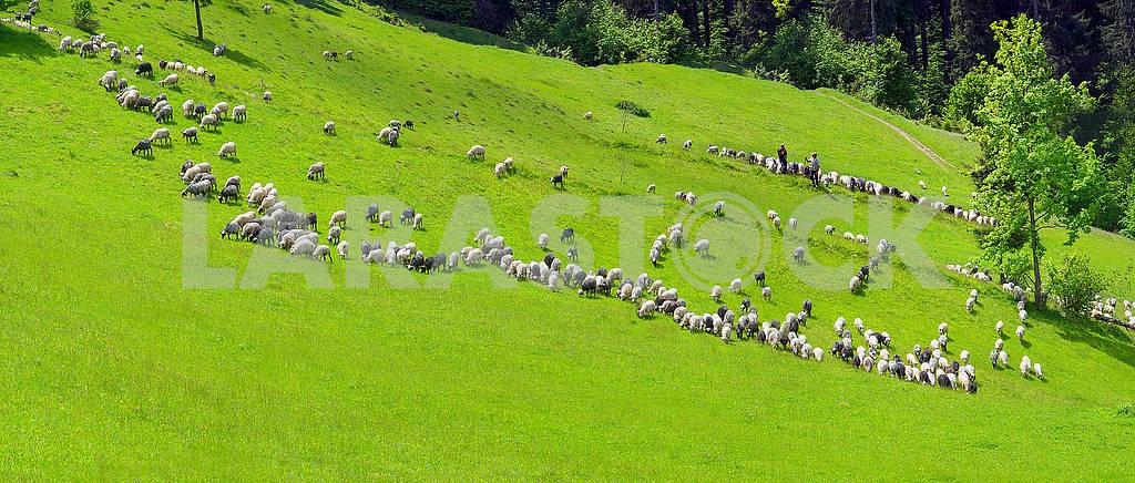Sheep Carpathians — Image 68316