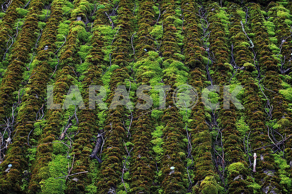 Slate roof covered with moss — Image 68462