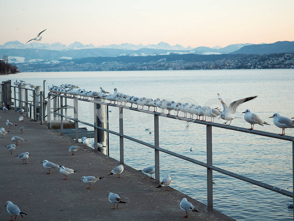 Seagulls on the waterfront in Zurich — Image 68506