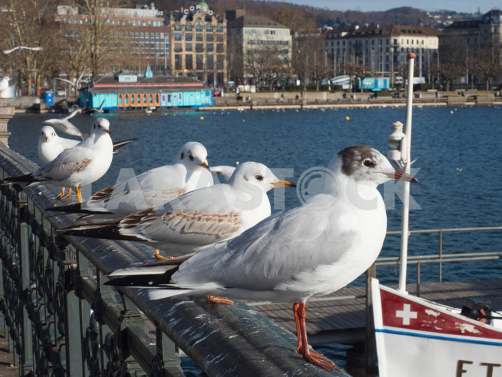 Seagulls on the waterfront in Zurich — Image 68510