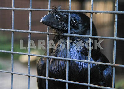 Raven in a cage