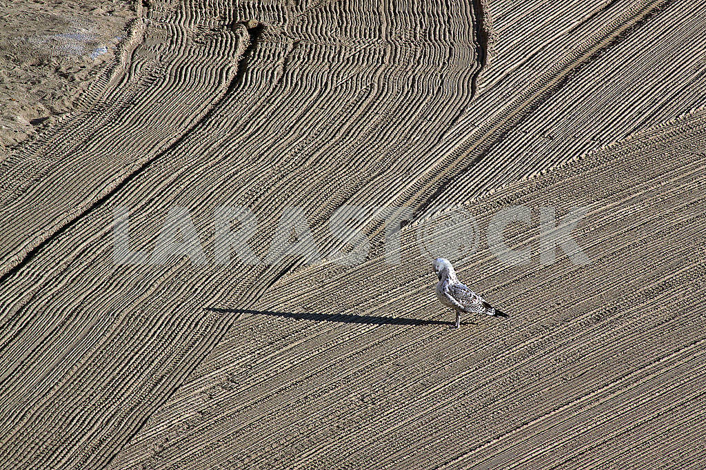 Lonely seagull on cleaned by a tractor sand on the Mediterranean — Image 68750