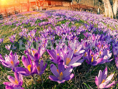 Crocuses in Kolochava