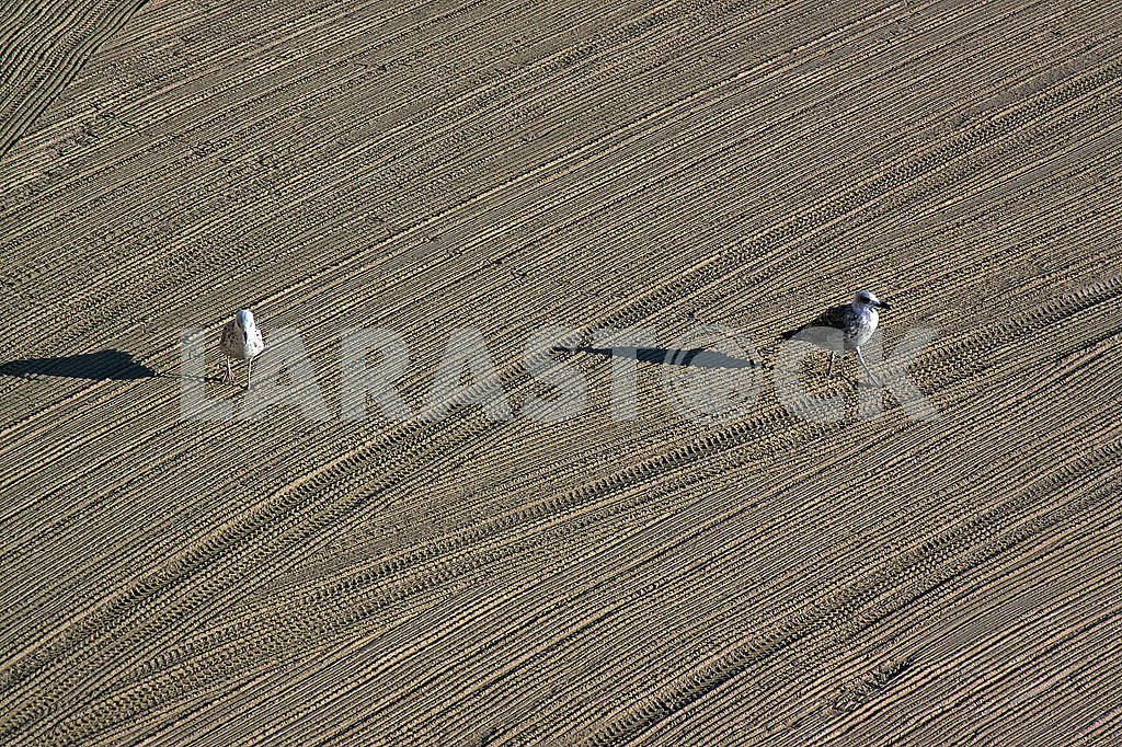 Two lonely seagulls on cleaned by a tractor sand on the Mediterranean Sea — Image 68954