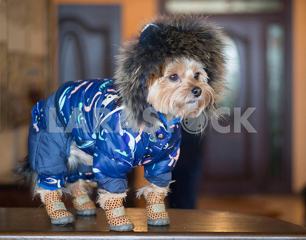 Yorkshire Terrier — Image 68980