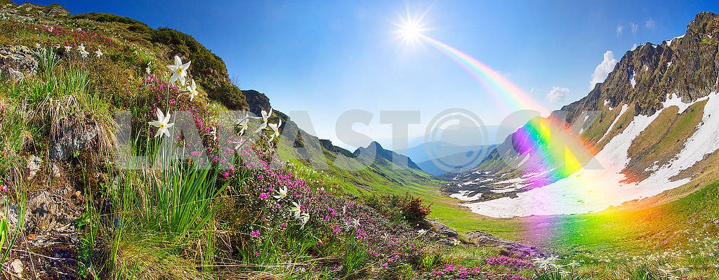 Daffodils Ukrainian Alps - Marmarosh