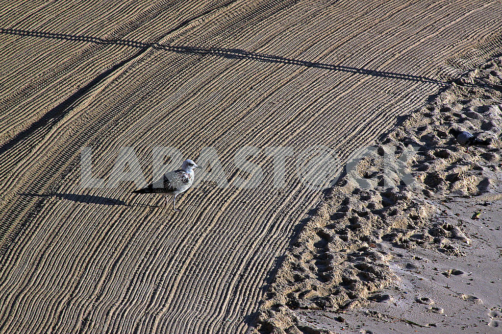 Lonely seagull on cleaned by a tractor sand on the Mediterranean — Image 69068