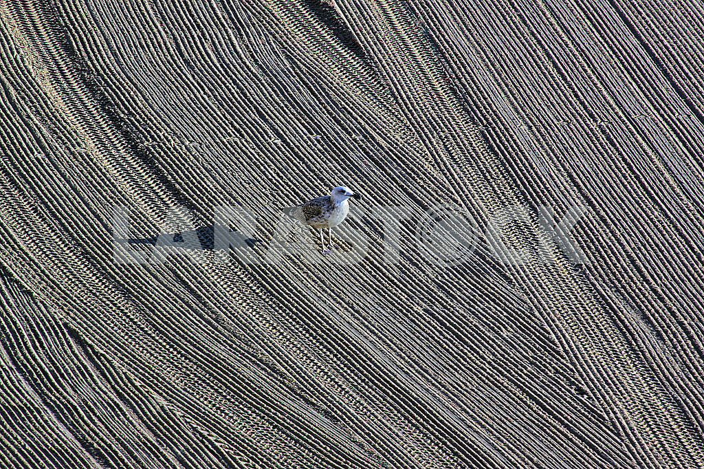 Lonely seagull on cleaned by a tractor sand on the Mediterranean — Image 69278